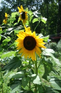Crop mob sunflower