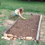 Strawberry mulching